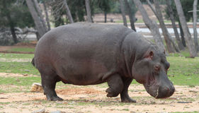 Hippo walking Stock Photos
