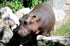 Hippo. An hippo walking in the nature Royalty Free Stock Photos