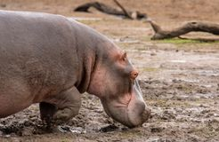 Hippo walking out of the mud stock images