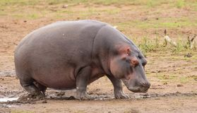 Hippo emerging from the water royalty free stock photography