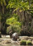 Hippo walking in river, Serengeti, Tanzania Royalty Free Stock Image