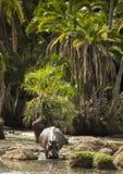 Hippo walking in river, Serengeti, Tanzania Stock Photography