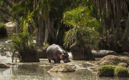 Hippo walking in river, Serengeti, Tanzania Stock Photos