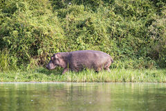 Hippo walking Stock Images