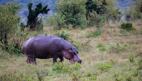A hippo is walking in the savannah. The hippo is walking in the savannah stock images