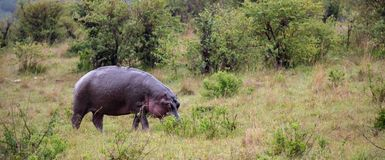 A hippo is walking in the savannah. The hippo is walking in the savannah stock image