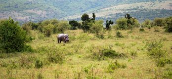 A hippo is walking in the savannah. The hippo is walking in the savannah royalty free stock photography
