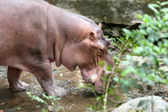 Hippo walking in the zoo Stock Photos