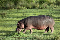 Hippo walks on the green lawn Royalty Free Stock Photos