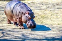 Hippo walks on ground Royalty Free Stock Photos
