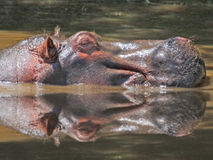 A hippo wallowing with water reflection Stock Images