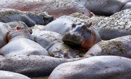 Hippo is watching the camera while laying with a big group of hippo's Royalty Free Stock Images