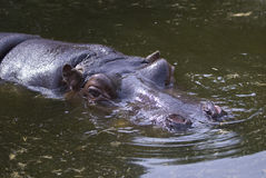 Hippo in Water Royalty Free Stock Photo