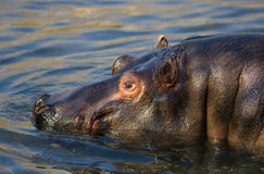 Hippo in the Water Royalty Free Stock Photo