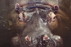 Hippo in the water Royalty Free Stock Photos