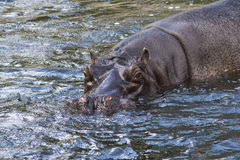 Hippo in water Stock Image