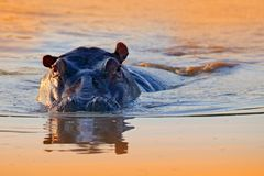 Hippo in the water. African Hippopotamus, Hippopotamus amphibius capensis, with evening sun, animal in the nature water habitat, stock image
