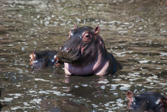 Hippo in the water Royalty Free Stock Image