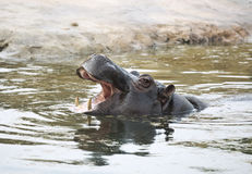 Hippo in the water. Behemoth lives only in Africa South of the Sahara Royalty Free Stock Photos