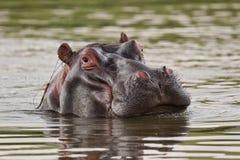 Hippo in water die camera bekijken royalty-vrije stock afbeeldingen