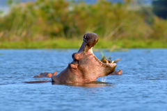 Hippo in the water Stock Image