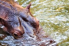 Hippo in the water. Hippopotamus in the water. Close-up to head. Photo taken from above Royalty Free Stock Photo