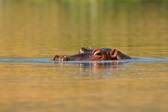 Hippo in the water. Hippopotamus immersed in the water in a lake in Tanzania Stock Image