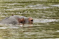 Hippopotamus. Submerged in water with just the eye showing Stock Images