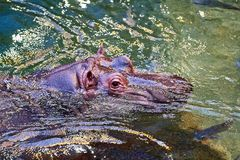 Hippo in the water. Hippopotamus in the water. Close-up to head. Photo taken from above Royalty Free Stock Photos
