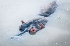 Hippo in the water. Royalty Free Stock Images