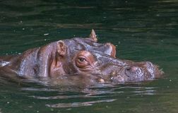 Hippo in water. Large hippo glides effortlessly through the water at Seattle Woodland Park Zoo royalty free stock photography
