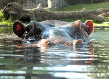Hippo at water level Stock Photography