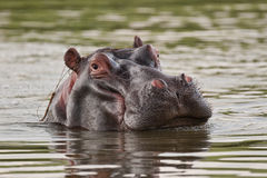 Hippo in water looking at camera Royalty Free Stock Images