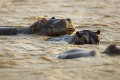 Hippo in water South Africa Stock Image