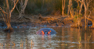 Hippo in water sunset South Africa Stock Photo