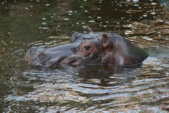Hippo in the water. Hippo is swimming in the water stock image