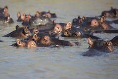 Hippo in water Zuid-Afrika Stock Afbeelding