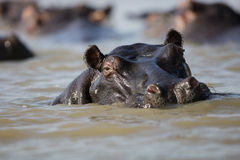 Hippo in water Zuid-Afrika Stock Fotografie