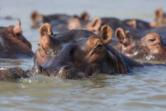 Hippo in water Zuid-Afrika Royalty-vrije Stock Foto