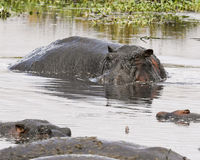 Hippo in a watering hole partially submerged. In the Ngorongoro Conservation Area, Tanzania Royalty Free Stock Photography