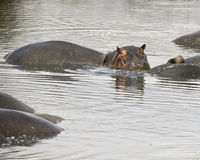 Hippo in a watering hole partially submerged. In the Ngorongoro Conservation Area, Tanzania Royalty Free Stock Photo