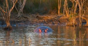 Hippo in waterzonsondergang Zuid-Afrika Stock Foto