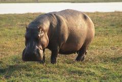 Hippo weidt op de rivieroever Stock Afbeeldingen