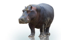 Hippo on white background Stock Images