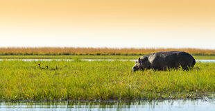 Hippo In The Wild. Hippo or Hippopotamus in the wild in Chobe National Park, Botswana, Africa Royalty Free Stock Photo