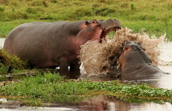 Hippo Wrestle Stock Image