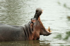 Hippo Yawn. Hippopotamus yawing, mouth wide open, teeth showing, side view Stock Photos