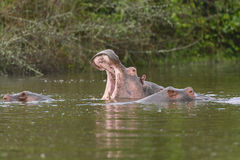 Hippo Yawn in an African Lake Stock Images