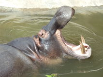 Hippo yawn. An aggressive hippo yawning a lethal sign of aggression Royalty Free Stock Photography