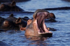 Hippo yawn, Chobe River, Caprivi Strip, Botswana Royalty Free Stock Images